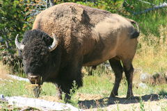 Bison en stationnement national de Yellowstone Photo stock