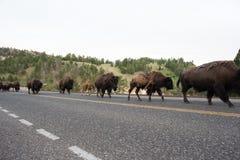 Bison en stationnement national de yellowstone image libre de droits