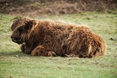 bison enjoying the sunshine stock images
