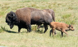 Bison et veau de bébé Image libre de droits