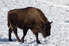 Bison européen Image libre de droits