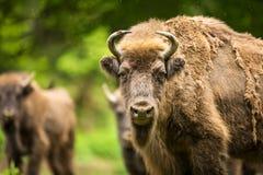 Bison européen Photo libre de droits