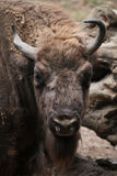 Bison européen (bonasus de bison) Photo stock
