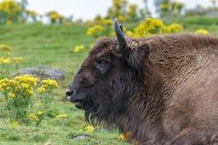 Bison européen (bonasus de bison) images stock
