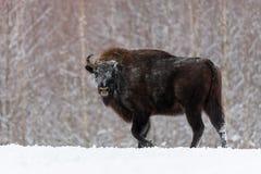 Bison européen sauvage, mâle de taureau Wisent adulte puissant majestueux d'Aurochs dans l'horaire d'hiver, Belarus Scène de faun Image libre de droits