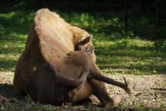Bison européen se reposant dans le pré Photo libre de droits