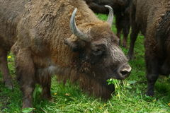 Bison europe Royalty Free Stock Photography