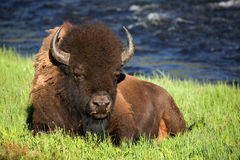 Bison. In evening light in the Yellowstone National Park Stock Photos