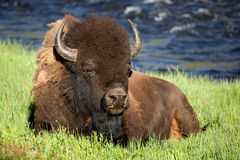 Bison. In evening light in the Yellowstone National Park Stock Image