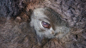 Bison eye Stock Image