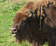 Bison eyes Stock Photo