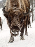 Bison face close to the camera. Altai Breeding bison place. Stock Image