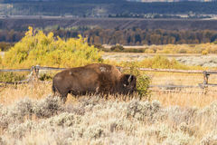 Bison in Fall Stock Photo