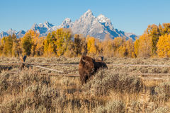 Bison in Fall Royalty Free Stock Image