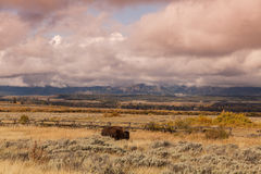 Bison in Fall Landscape Royalty Free Stock Photos