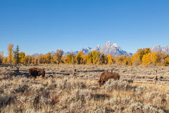 Bison in Fall in the Tetons Stock Images
