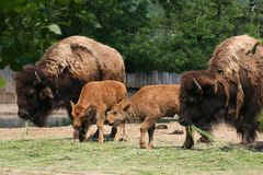 Bison family Royalty Free Stock Photography