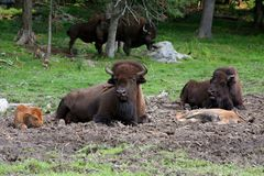 Bison family Royalty Free Stock Image