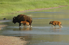 Bison Family. Crossing a shallow river in North Dakota Stock Photos