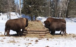 Bison family Stock Photo