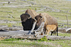 Bison family. Along Fountain Flat Drive, Yellowstone National Park, Wyoming Royalty Free Stock Photos