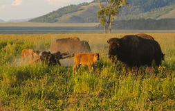 Bison family Royalty Free Stock Photo