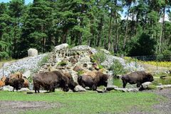 Bison family grazing stock images
