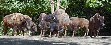 Bison family 1 Stock Photos