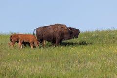 Bison Family på prärie royaltyfri bild
