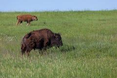 Bison Family på prärie arkivbilder