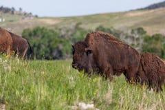 Bison Family på prärie royaltyfria bilder