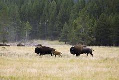 Bison Family på den Yellowstone nationalparken Arkivbilder