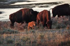 Bison family Royalty Free Stock Images