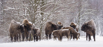 Bison family in winter day in the snow Stock Photos