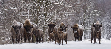 Bison family in winter day in the snow Stock Image