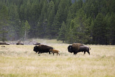 Bison Family at Yellowstone National Park. A complete bison family (male, female and baby) running through an open field at Yellowstone National Park in Wyoming Stock Images