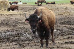 Bison on farm in southern Bohemi Royalty Free Stock Photos