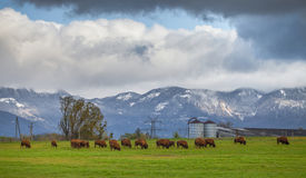 Bison Farming, Switzerland Stock Images