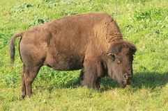 Bison feeding Stock Photography