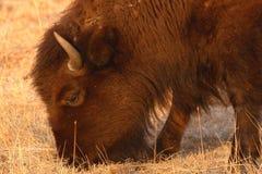 Bison Feeding Stock Photos