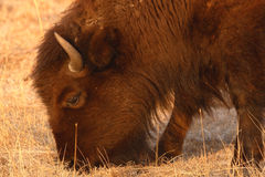 Bison Feeding. An American Bison feeding during winter in South Dakota Stock Photos