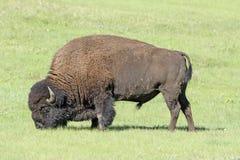 Bison Feeding in den Wiesen Lizenzfreies Stockbild