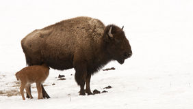 Bison Feeding its Young Baby in Yellowstone Royalty Free Stock Photo