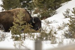 Bison feeding in snow covered field in Yellowstone National Park Stock Photos