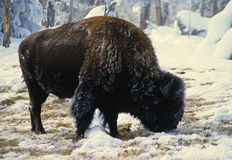 Bison Feeding in Winter Royalty Free Stock Photo