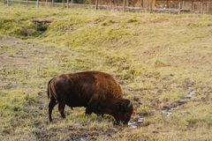 A Bison Feeds at the Nature Reserve in Jester Park, Iowa royalty free stock image