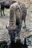 Bison female 3. Bison female. Latin name - Bison bison Royalty Free Stock Photo