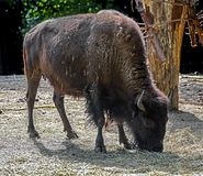 Bison female Stock Image
