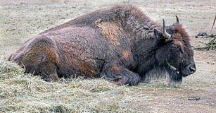 Bison female 1. Bison female. Latin name - Bison bison Stock Photo