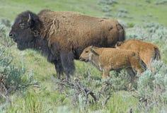 Bison femelle avec deux veaux dans le domaine vert images stock